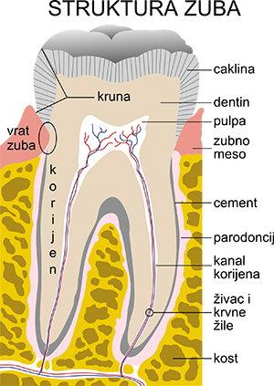 Zub-anatomija