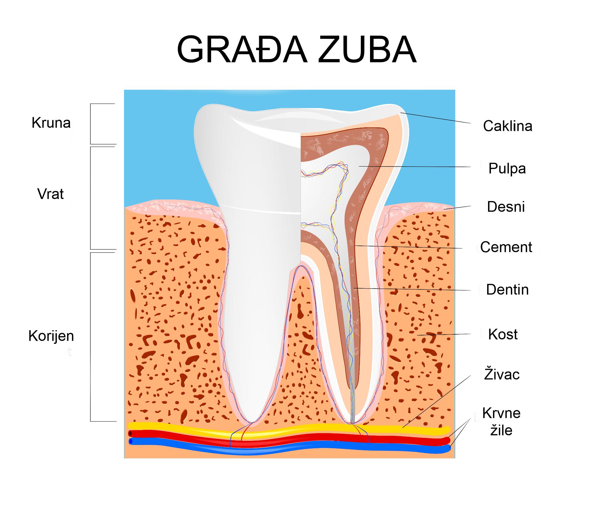 građa zuba